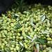 2013 Jordan Olive Harvest 009