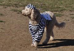Halloween in the Dog Park (danbruell) Tags: dog pets mountain dogs halloween fun costume dressup hills charleston part westvirginia clinic neuter spay wvirginia