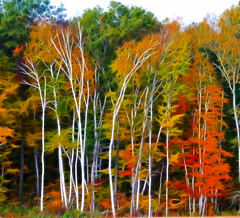 Birch Trees in Fall (a56jewell) Tags: trees red orange colour fall leaves oct birch simcoe fractalius a56jewell