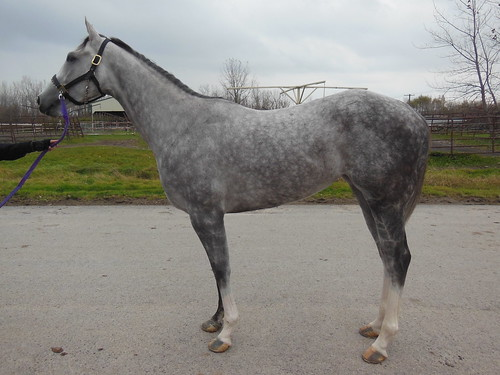 Your Tune Anytime 3 Year Old 15h Grey Filly Finger