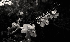 1600 Sunday morning (Nebojsa Mladjenovic) Tags: flowers light mist plant france flower macro art nature fleur monochrome closeup sepia digital dark french outdoors lumix flora frankreich burgundy panasonic frankrijk closup bourgogne francia priroda morvan francais fz50 yonne svetlost mladjenovic