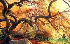 Burning tree (Croix-roussien) Tags: lyon tree orange nature ngc arbre branche branch feuillage fire feu cof1 leave france