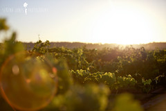 Wine (Serena178) Tags: sunrise wine vineyards lensflare huntervalley odc2