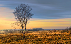 Solitary trees, if they grow at all, grow strong (Wim Koopman) Tags: sky holland tree netherlands grass canon golden day view cloudy heather hill nederland powershot valley hour glowing flowing solitary veluwe s95 pwwinter