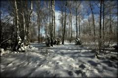 birch grove in winter (MarcelXYZ) Tags: trees winter snow tree canon landscape birch drohiczyn cesarz marcelxyz