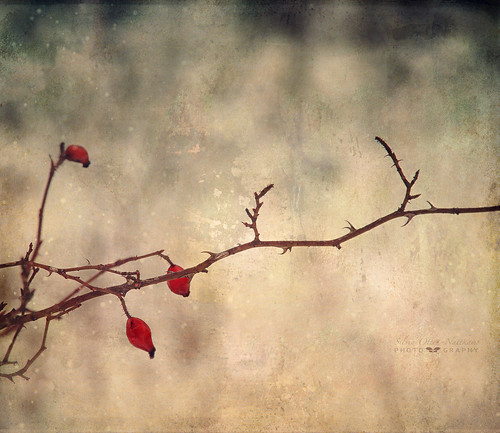 winter rose december branch ie rosehip textured 2013... (Photo: silviaON on Flickr)