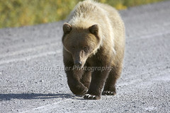 Grizzly Bear - 12526 (Bart Elder) Tags: road canada walking eyecontact looking wildlife can gravel eagleplains yukonterritory grizzlybearursusarctoshorribilis