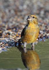 crossbill (colin 1957) Tags: birds birdwatcher crossbill fantasticnature aweomeshot