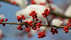138e snowy berries of winter (jjjj56cp) Tags: winter red snow nature branch berries snowy cincinnati january conservatory oh icy krohn sunrays5 infinitexposure