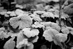 Frosty Weed (Jason Webber) Tags: bw garden weed frost 2014 jasonwebber
