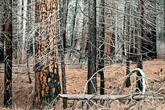 Winter Woods (Philip Michael Photo) Tags: winter cold nature forest woods yosemite yosemitenationalpark nationalparks