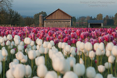 Barn With Purple and White Tulips (Bridget Calip - Alluring Images) Tags: flowers clouds oregon barn botanical outdoors petals spring flora tulips farm symmetry silo rows valley pacificnorthwest fields northamerica bulbs botanic blueskies agriculture johndeere lonetree woodburn 2013 floralbackground pinktractor bridgetcalip woodenshoetulipfarm888