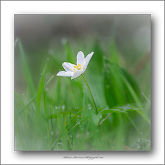 Petite fleur (Christian ;-)) Tags: fleurs bretagne macros printemps d7000