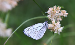 Pieride del biancospino (Aporia Crataegi) (Alessandro D'Ambrosio) Tags: life summer white black color macro nature stain beautiful beauty butterfly insect wings decorative background decoration lepidoptera collection isolated element veined lifespan aporia crataegi