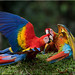 'at play' (d-lilly) Tags: scarletmacaw costarica costarica2016 parrots macaw naturestapestryphotoadventuretours