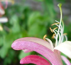 honeysuckle (helena.e) Tags: helenae öland slott slottsruin borgholm kaprifol loniceracaprifolium loniceraxylosteum