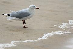 Silver Gull (iansand) Tags: dy deewhy gull silvergull seagull