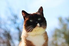 Eliot (Mariie76) Tags: animaux chat snowshoe birman sacré de birmanie siamois noir marron tâche blanche museau yeux bleus ciel printemps soleil chaleur
