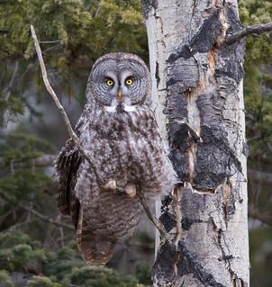 Great Grey Owl_1