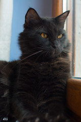 Conan my little barbarian❤ (Zuncra*) Tags: cat gato gatonegro gatito blackcat mew animal felino nikon nikond5200 d5200 conan hoya hoyapro1digitalfiltrer polarozadorhoya pro1hoya