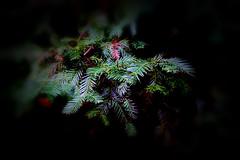 REDWOOD BRANCH (Aspenbreeze) Tags: redwoodtree redwoodfrond fronds redwoodntaionalforest calaiforniaredwood sequoiaredwood coastalreadwood tree nature bevzuerlein aspenbreeze moonandbackphotography