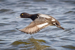 Male Lesser Scaup (tresed47) Tags: 2017 201701jan 20170126semarylandbirds birds cambridge canon7d content ducks folder lesserscaup maryland peterscamera petersphotos places scaup takenby us
