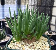 Phyllobolus sp.