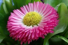 Belli - Tausendschön (Gartenzauber) Tags: floralfantasy doublefantasy