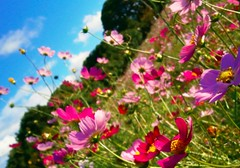 Cosmos (akituki**) Tags: flowers flower floral cosmos autummn fall sky plants pink green コスモス 秋桜 秋 japan