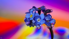 wonderful colors (Ⓨᗩsmine Ⓗens +5 000 000 thx❀) Tags: color macro flower drops blue droplet hensyasmine nature