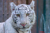 Marine ♂ -  Blue Eyes (Belteshazzar (AKA Harimau Kayu)) Tags: marine tiger zoo animal bigcat bigcats feline bengaltiger pantheratigristigris königstiger indischertiger eltigredebengala tigredubengale latigrerealedelbengala бенгальскийтигр 孟加拉虎 whitetiger weisertiger tigreblanco tigreblancroyal белыйтигр 孟加拉白虎 zooshot tobu tobuzoo snowwhite mirrormirror babytiger baby kid keddo