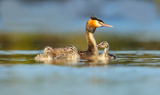 Great-crested Grebe family