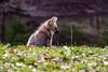 20170402-Mähnenwolf, Tiergarten Nürnberg-011.jpg (serpentes80) Tags: mähnenwolf tiere tiergartennürnberg