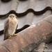 Sparrowhawk (jo.angell) Tags: sparrowhawk birds prey wildlife
