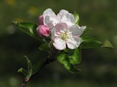 Pomlad v polnem razcvetu / Spring in full bloom (Damijan P.) Tags: cvetje flowers tree drevo pomlad sping slovenija slovenia prosenak