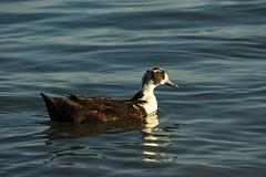 black_swedish_duck?1