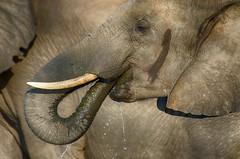 Water... (lyn.f) Tags: loxodontaafricana elephant water chobenationalpark botswana