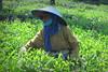 Tea harvest (PeterCH51) Tags: java indonesia tea plantation harvest picking teaharvest teapicking lawang jawatimur jawa picker teapicker tealeaves peterch51