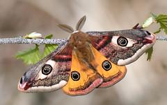 Emperor Moth (Saturnia pavonia) male (festoon1) Tags: emperormoth saturniapavonia moth lincolnshire