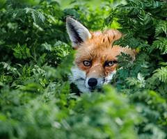 Basil in the brush (mikedoylepics) Tags: fox animals british d750 lingfield nature nikon nikond750 surrey