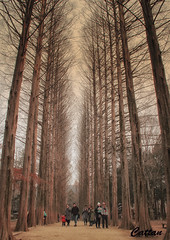 Nami Island, South Korea (cattan2011) Tags: streetpicture streetphoto streetphotography streetart korea southkorea trees travelbloggers traveltuesday travelphotography travel natureperfection naturephotography nature landscapephotography landscapeportrait landscape