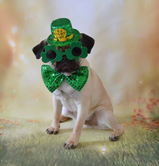 Happy St. Patrick's Day! Love, Le Boo (DaPuglet) Tags: pug pugs dog dogs pet pets animal animals stpatricksday patrick irish shamrock glasses ireland green costume cute funny