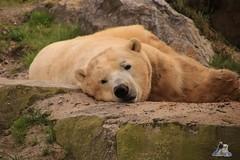 Erlebniszoo Hannver 15.04.2017 089 (Fruehlingsstern) Tags: eisbären polarbear sprinter melana elefanten seelöwen weiskopfseeadler yukonbay erlebniszoohannover hannover canoneos750 tamron16300 zoo