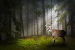 light-rays2 (georgepeirson) Tags: light rays fog foggy deer stag morning