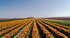 All lines come together (Mariannevanderwesten) Tags: tulipfield tulpenvelden goereeoverflakkee flowers tulips tupen bloemen voorjaar spring nikon lines lijnen