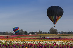 Balloons and Tulips (Wambo Jambo) Tags: bruceikenberrryphotography oregon spring woodenshoetulipfarm woodenshoetulipfest flowers tulipfest tulips hotairballoons balloons
