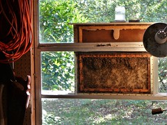 Observation hive (alansurfin) Tags: beehive honeybees apismellifera abejas bienen abeilles beeswax comb honeycomb beekeeping inside outside garage window