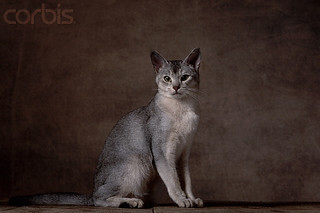 Abyssinian_cat