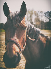 Pferd (at2907) Tags: paddock pony pferd pferde horse natur nature weide brown sleepy eyes schläfrig blick