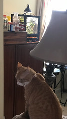 I came home to find Cheeto watching my new baby chameleon from... - The Caturday (TheCaturday) Tags: caturday kittens kitty cat cats kitten cute catsagram catsoftwitter catsofinstagram